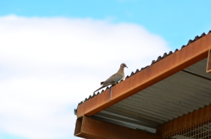 Doves are very common
