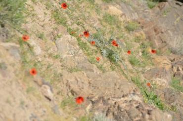 The COP Poppy Field