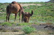 The baby camel was curious