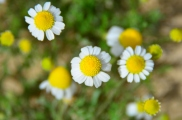 tiny little daisy looking flowers
