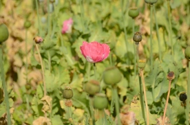 a poppy in a poppy field...the bad kind of poppy