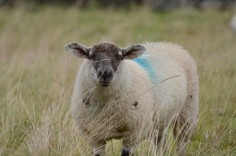 The Irish sheep look nothing like the Afghan sheep!