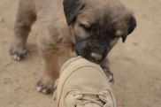 Mizan puppy playing with my boot