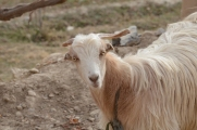 A Mizan goat checking me out