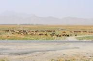 sheep & camel herders converge