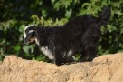 this goat climbed on top of the wall to find something to eat - the straw sticking out of the wall