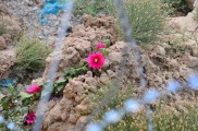 A bright pink wild flower on the outside of the wall
